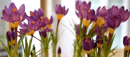 crocus_saffron.jpg