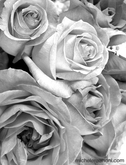 white,roses, black&white, flower