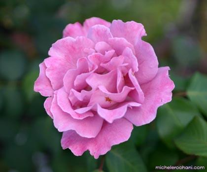 rose, pink, garden, stein, spring