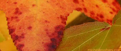 japanese, maple, fall, autumn, foliage, leaves, red, closeup