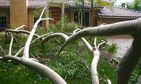 eucaliptus partial suicide 1