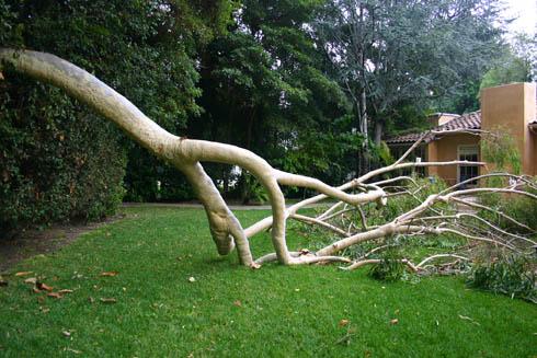 eucaliptus partial suicide 2