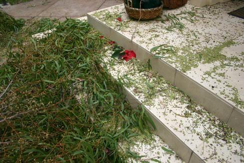 eucalyptus partial suicide 3