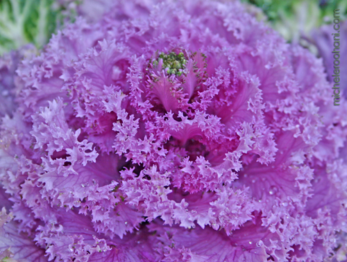 ornamental cabbage flower micheleroohani