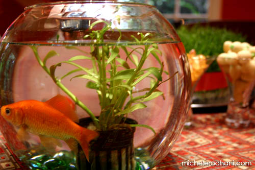norooz goldfish micheleroohani