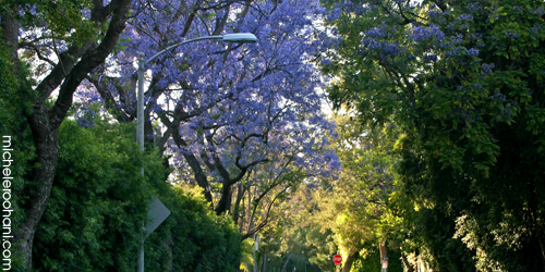 lamppost and jacarandas michele roohani