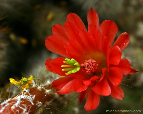 red cactus flower huntington desert garden michele roohani