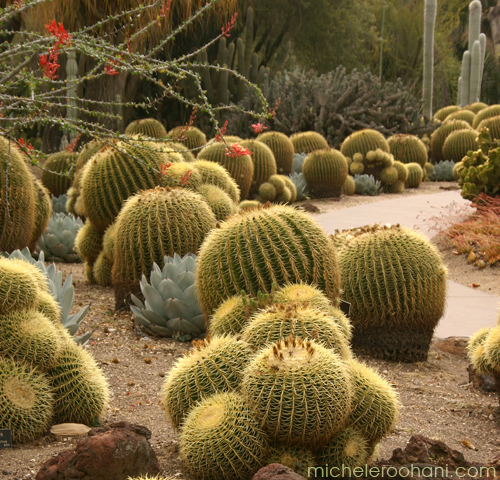 golden barrel cactus michele roohani huntington desert garden