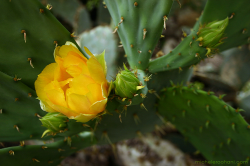 prickly pear cactus yellow flower huntington desert garden michele roohani