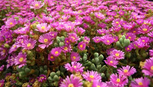 Succulent pink ice plant michele roohani huntington desert garden