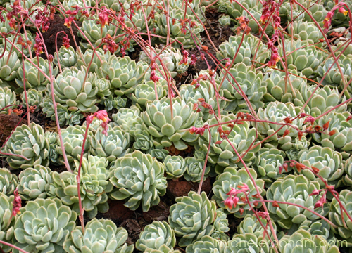 Succulent Echeveria michele roohani huntington desert garden