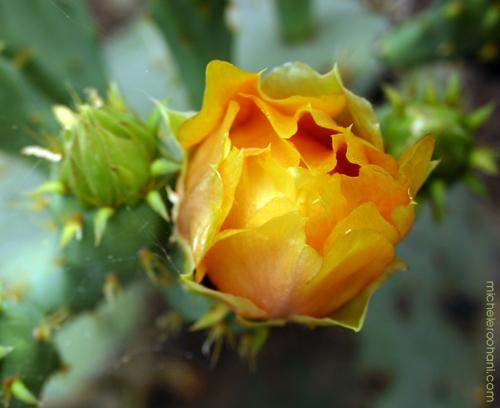 prickly pear cactus yellow blossom huntington desert garden michele roohani