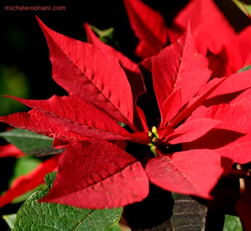 poinsettia michele roohani christmas