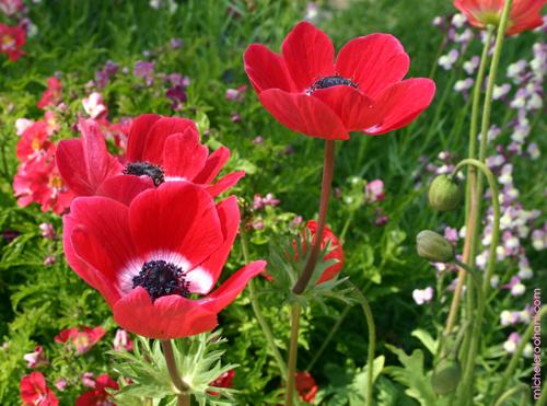 anemone ranunculus michele roohani