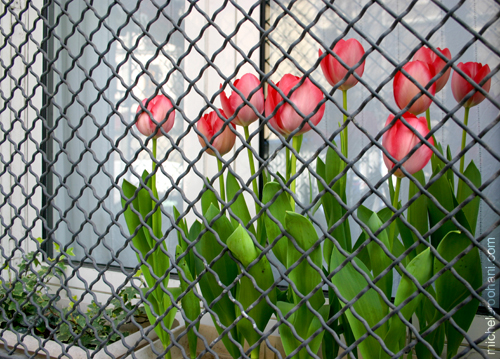 caged tulips michele roohani paris