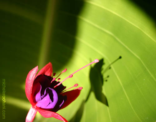 fuschia flower shadow michele roohani