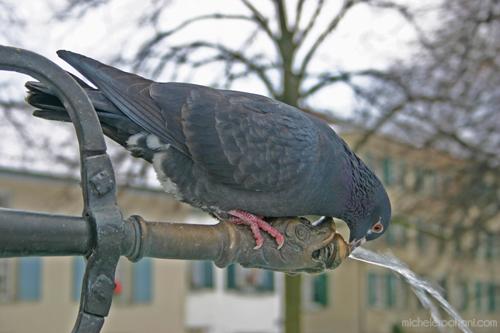 pigeon lindenhof  drinking fountain zurich michele roohani