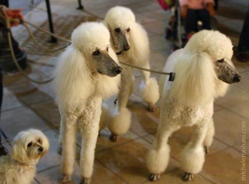 four white poodles mcihele roohani