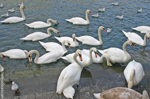 white swans lake lucerne luzern michele roohani