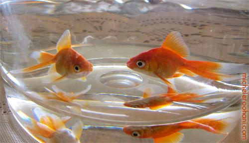nowruz goldfish michele roohani haft seen