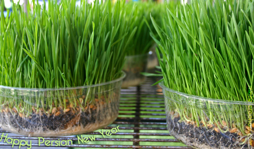 sabzeh wheat sprouts michele roohani nowruz norooz