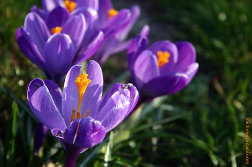 saffron crocus paris michele roohani