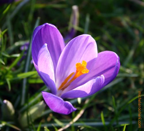 saffron montsouris crocus michele roohani